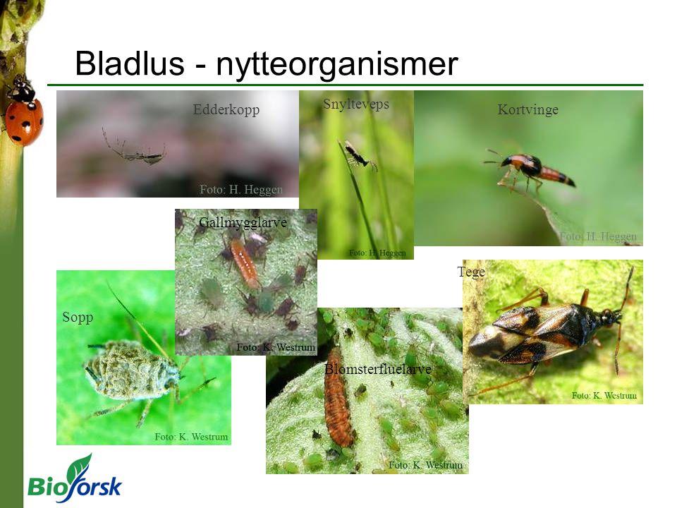 Bladlus - nytteorganismer Edderkopp Snylteveps Kortvinge Sopp Blomsterfluelarve Gallmygglarve Tege