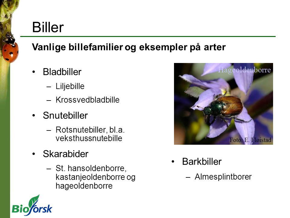 Biller Bladbiller –Liljebille –Krossvedbladbille Snutebiller –Rotsnutebiller, bl.a. veksthussnutebille Skarabider –St. hansoldenborre, kastanjeoldenbo