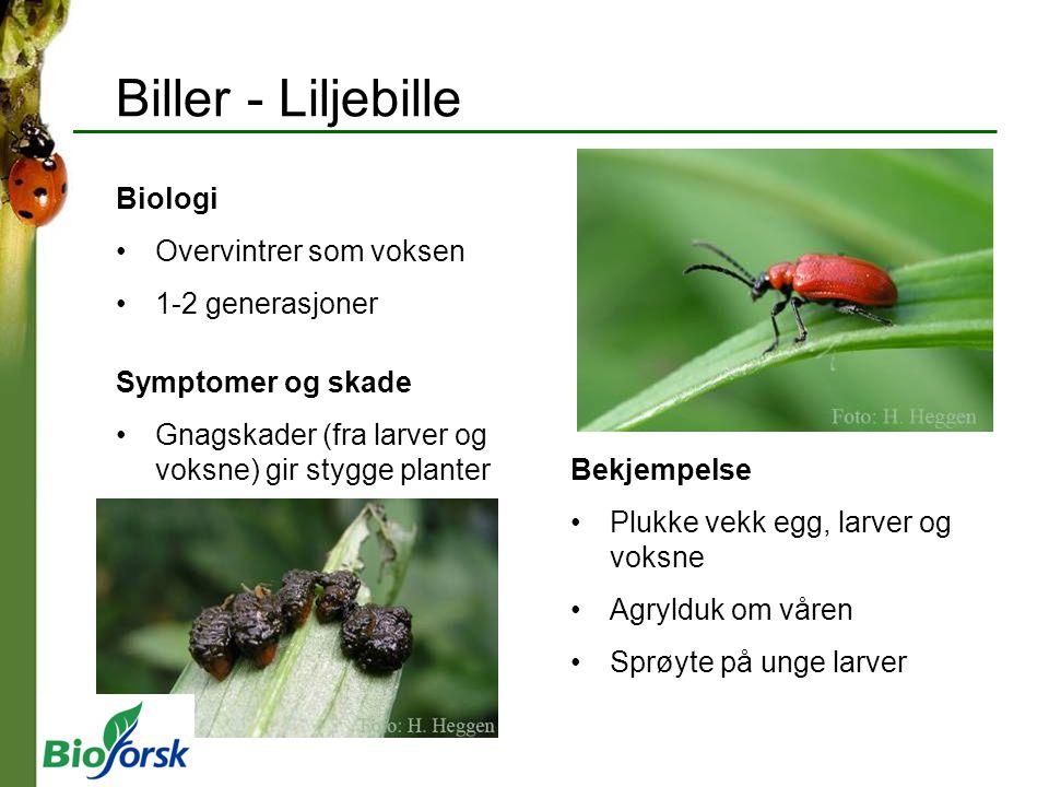 Biller - Liljebille Biologi Overvintrer som voksen 1-2 generasjoner Symptomer og skade Gnagskader (fra larver og voksne) gir stygge planter Bekjempels