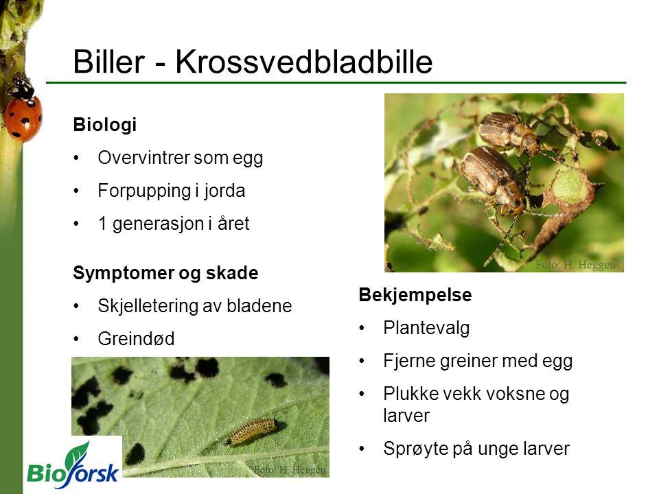 Biller - Krossvedbladbille Biologi Overvintrer som egg Forpupping i jorda 1 generasjon i året Symptomer og skade Skjelletering av bladene Greindød Bek
