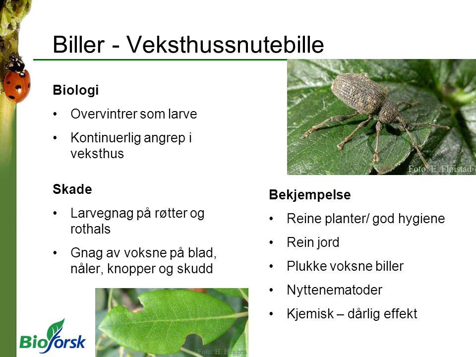 Biller - Veksthussnutebille Biologi Overvintrer som larve Kontinuerlig angrep i veksthus Skade Larvegnag på røtter og rothals Gnag av voksne på blad,