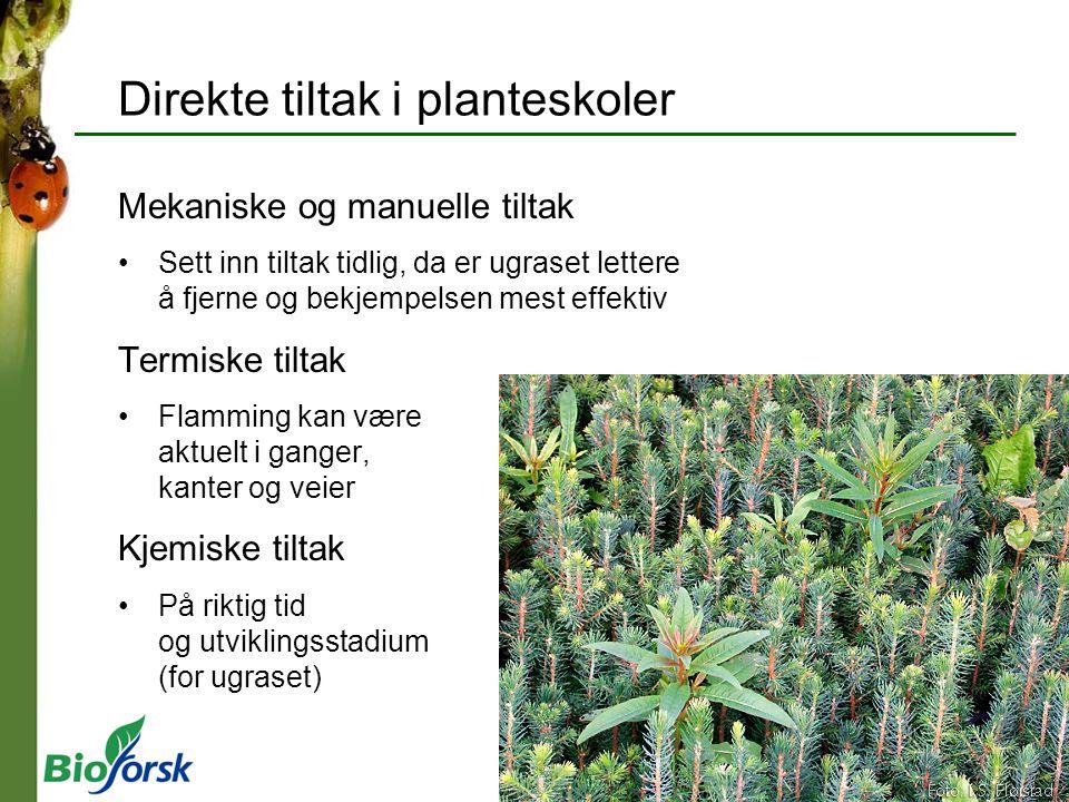 Kjempebjønnkjeks (Heracleum mantegazzianum) Toårig – med enkeltstående stengler med skjermer Ligner tromsøpalme (H.