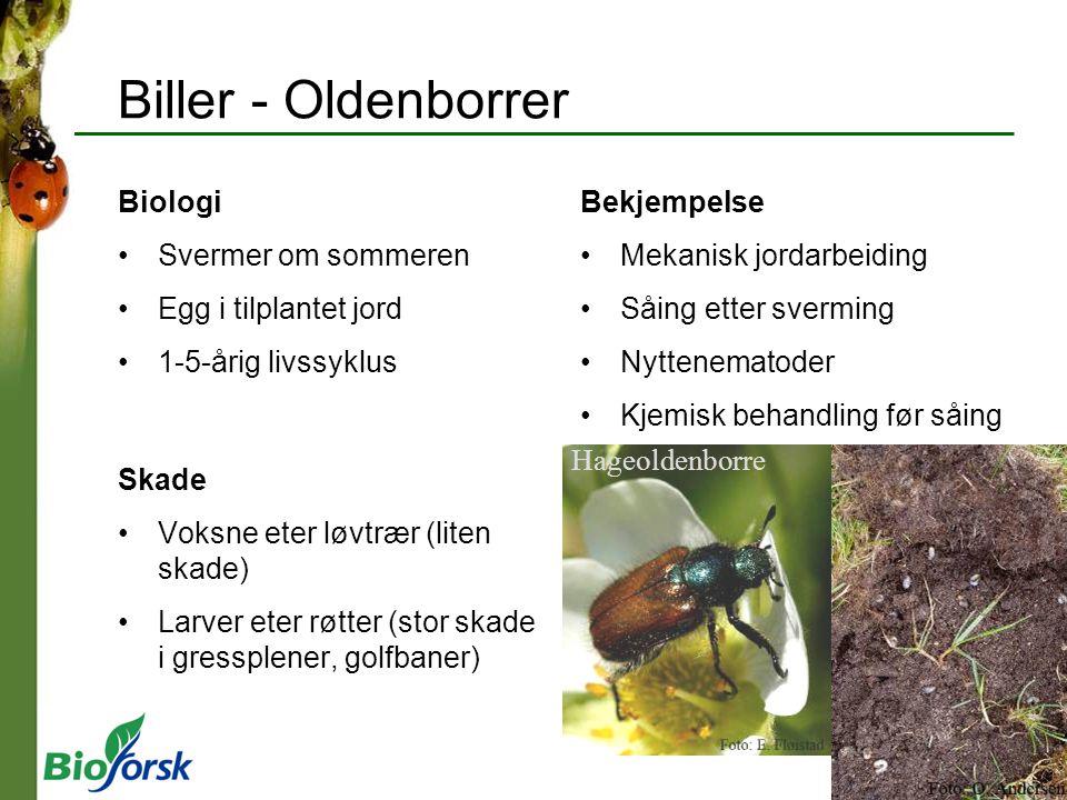 Biller - Oldenborrer Biologi Svermer om sommeren Egg i tilplantet jord 1-5-årig livssyklus Skade Voksne eter løvtrær (liten skade) Larver eter røtter