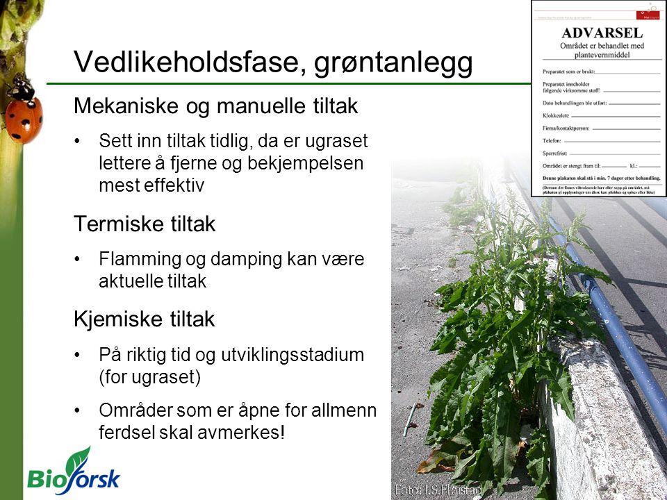Tunbalderbrå (Chamomilla suaveolens) Sommerettårig Gjennomsnittlig 5300 frø pr.