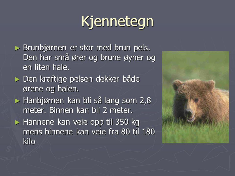 Kjennetegn ► Brunbjørnen er stor med brun pels.Den har små ører og brune øyner og en liten hale.