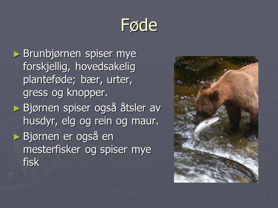 Føde ► Brunbjørnen spiser mye forskjellig, hovedsakelig planteføde; bær, urter, gress og knopper.