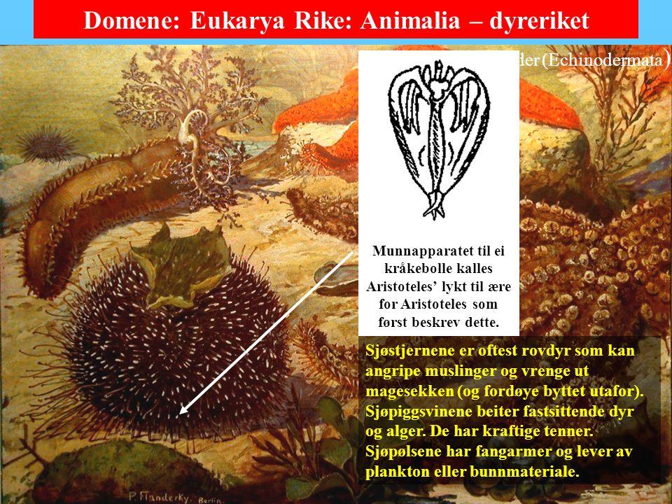 Domene: Eukarya Rike: Animalia – dyreriket Her er sjøstjerner, sjøpiggsvin og sjøpølser.