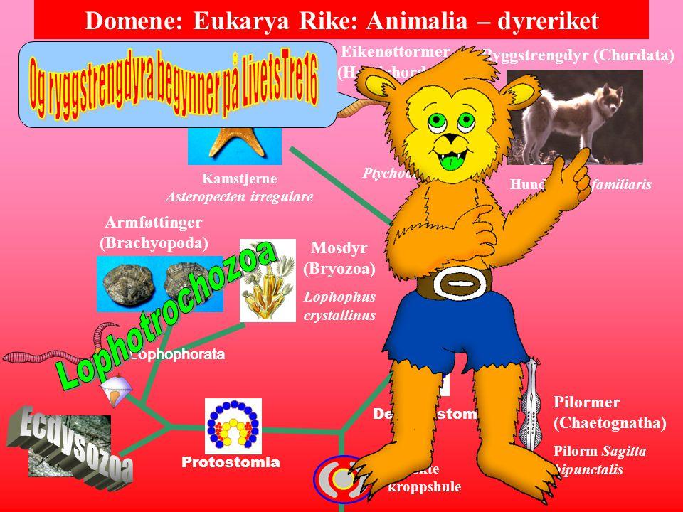 Domene: Eukarya Rike: Animalia – dyreriket Pigghuder (Echinodermata ) Brising- stjerne Brisinga endecac- nemos oppdaget på dypet i Hardanger- fjorden...