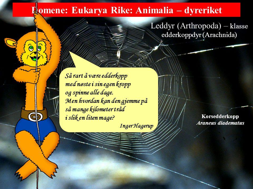 Domene: Eukarya Rike: Animalia – dyreriket Leddyr (Arthropoda) – klasse edderkoppdyr (Arachnida) Korsedderkopp Araneus diadematus Så rart å være edderkopp med nøste i sin egen kropp og spinne alle dage.