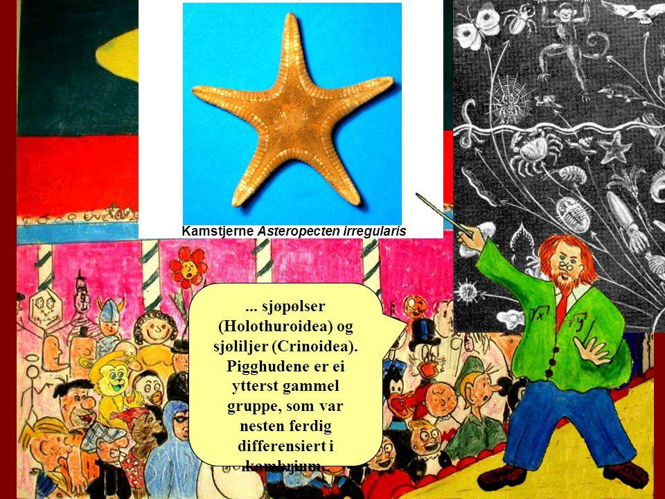 Det overrasker nok alle at sjøstjerner og kråkeboller er mer i slekt med oss enn f.eks.