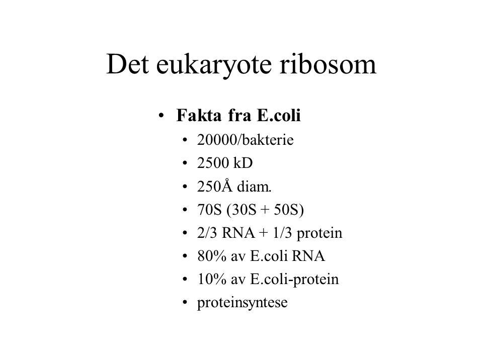 Det eukaryote ribosom Fakta fra E.coli 20000/bakterie 2500 kD 250Å diam. 70S (30S + 50S) 2/3 RNA + 1/3 protein 80% av E.coli RNA 10% av E.coli-protein