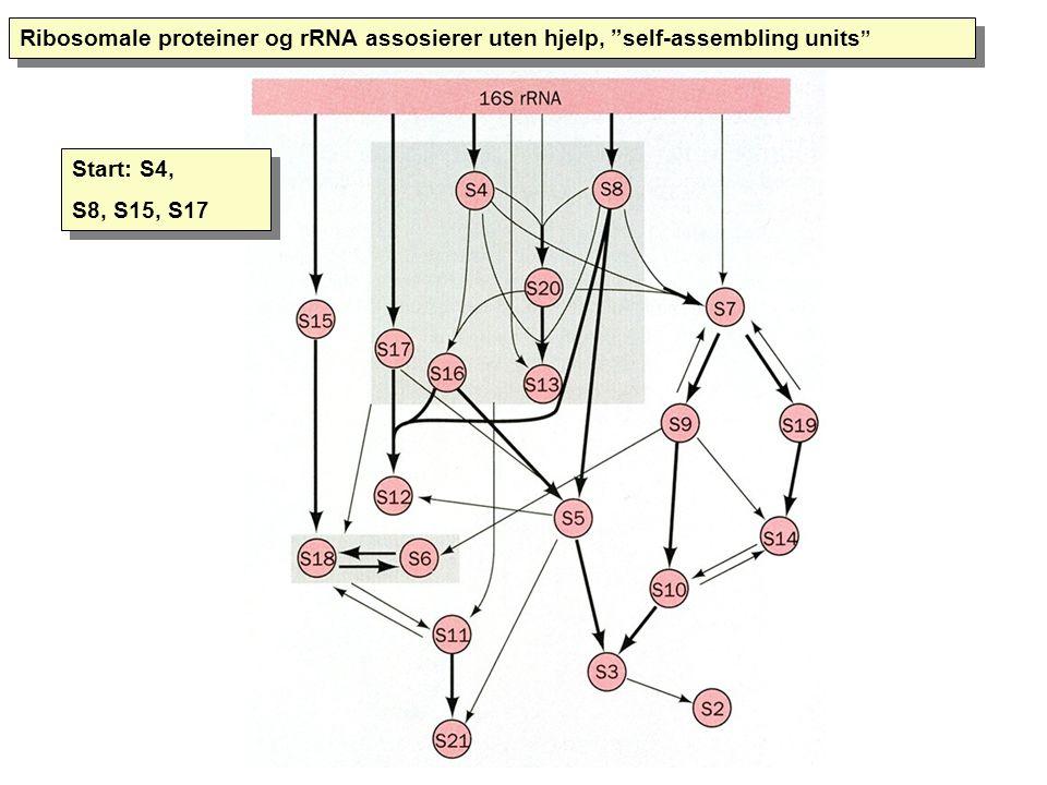 """Ribosomale proteiner og rRNA assosierer uten hjelp, """"self-assembling units """" Start: S4, S8, S15, S17 Start: S4, S8, S15, S17"""