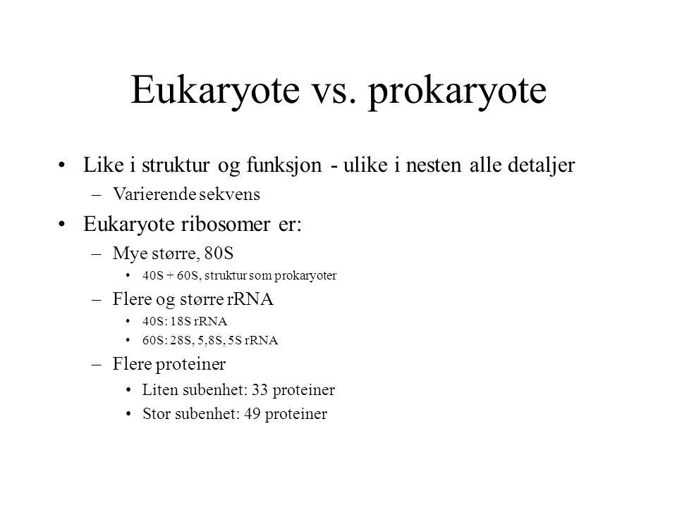 Eukaryote vs. prokaryote Like i struktur og funksjon - ulike i nesten alle detaljer –Varierende sekvens Eukaryote ribosomer er: –Mye større, 80S 40S +