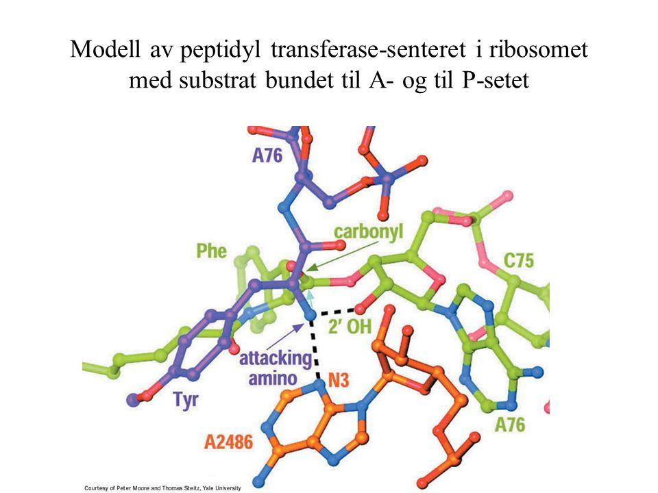 Modell av peptidyl transferase-senteret i ribosomet med substrat bundet til A- og til P-setet