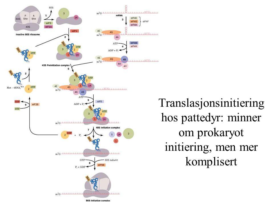Translasjonsinitiering hos pattedyr: minner om prokaryot initiering, men mer komplisert