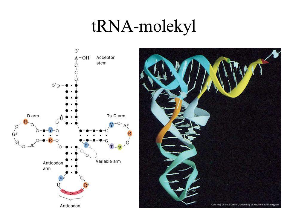 Hva er GTP's funksjon Hastighet Translasjon kan finne sted uten GTP - svært langsom IF-2/GTP, EF-Tu/GTP, EF-G/GTP, RF-3/GTP Ingen høy-energi intermediater Binding av GTP-bindende proteiner m/GTP til ribosomet => allosterisk forårsaket konformasjonsendring –GTP => konformasjonsendring –GDP + Pi => avslapning GTP hydrolysen er rask og irreversibel => tilknyttede reaksjoner blir det også