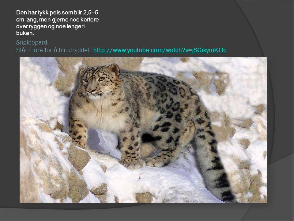 Snøleopard: Står i fare for å bli utryddet :http://www.youtube.com/watch?v=jSGikymKFlchttp://www.youtube.com/watch?v=jSGikymKFlc Den har tykk pels som