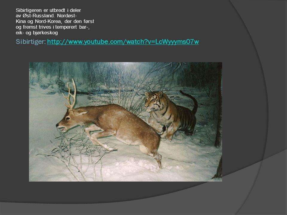 Sibirtiger: http://www.youtube.com/watch?v=LcWyyyms07whttp://www.youtube.com/watch?v=LcWyyyms07w Sibirtigeren er utbredt i deler av Øst-Russland. Nord