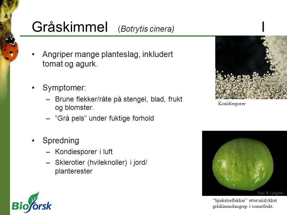 Gråskimmel (Botrytis cinera) I Angriper mange planteslag, inkludert tomat og agurk. Symptomer: –Brune flekker/råte på stengel, blad, frukt og blomster