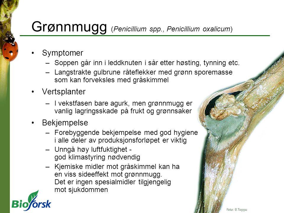 Grønnmugg (Penicillium spp., Penicillium oxalicum) Symptomer –Soppen går inn i leddknuten i sår etter høsting, tynning etc. –Langstrakte gulbrune råte