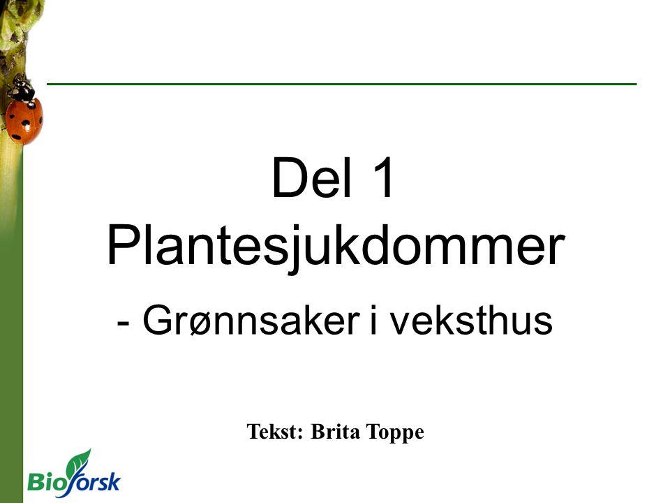 Gråskimmel (Botrytis cinera) I Angriper mange planteslag, inkludert tomat og agurk.