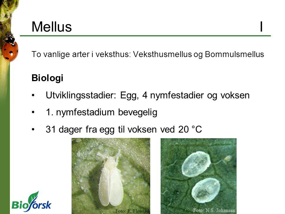 Mellus I To vanlige arter i veksthus: Veksthusmellus og Bommulsmellus Biologi Utviklingsstadier: Egg, 4 nymfestadier og voksen 1. nymfestadium bevegel
