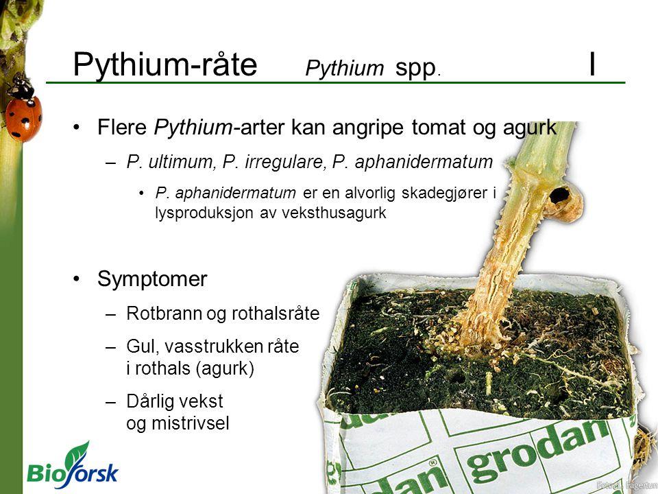 Pythium-råte Pythium spp. I Flere Pythium-arter kan angripe tomat og agurk –P. ultimum, P. irregulare, P. aphanidermatum P. aphanidermatum er en alvor