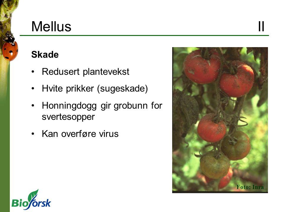 Mellus II Skade Redusert plantevekst Hvite prikker (sugeskade) Honningdogg gir grobunn for svertesopper Kan overføre virus Foto: Inra