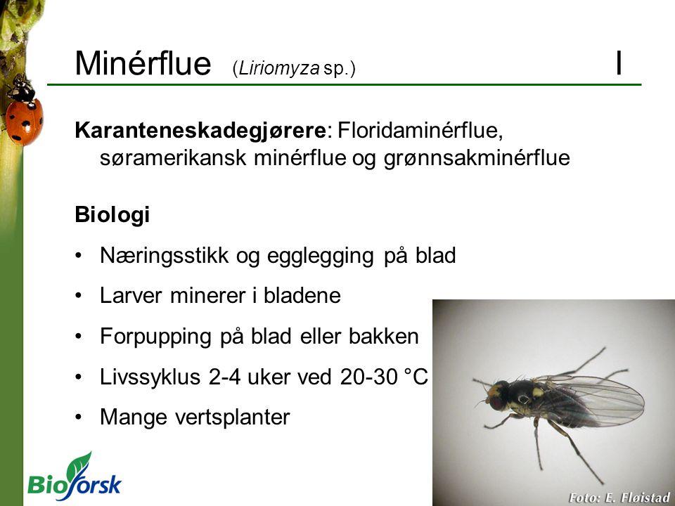 Minérflue (Liriomyza sp.) I Karanteneskadegjørere: Floridaminérflue, søramerikansk minérflue og grønnsakminérflue Biologi Næringsstikk og egglegging p