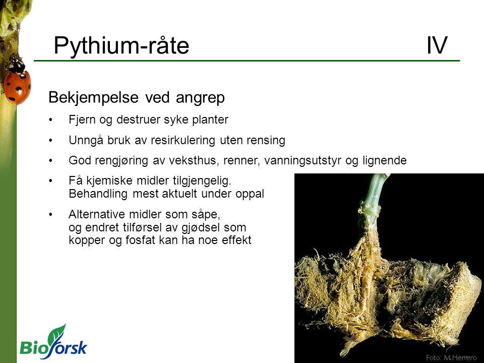 Pythium-råte IV Bekjempelse ved angrep Fjern og destruer syke planter Unngå bruk av resirkulering uten rensing God rengjøring av veksthus, renner, van