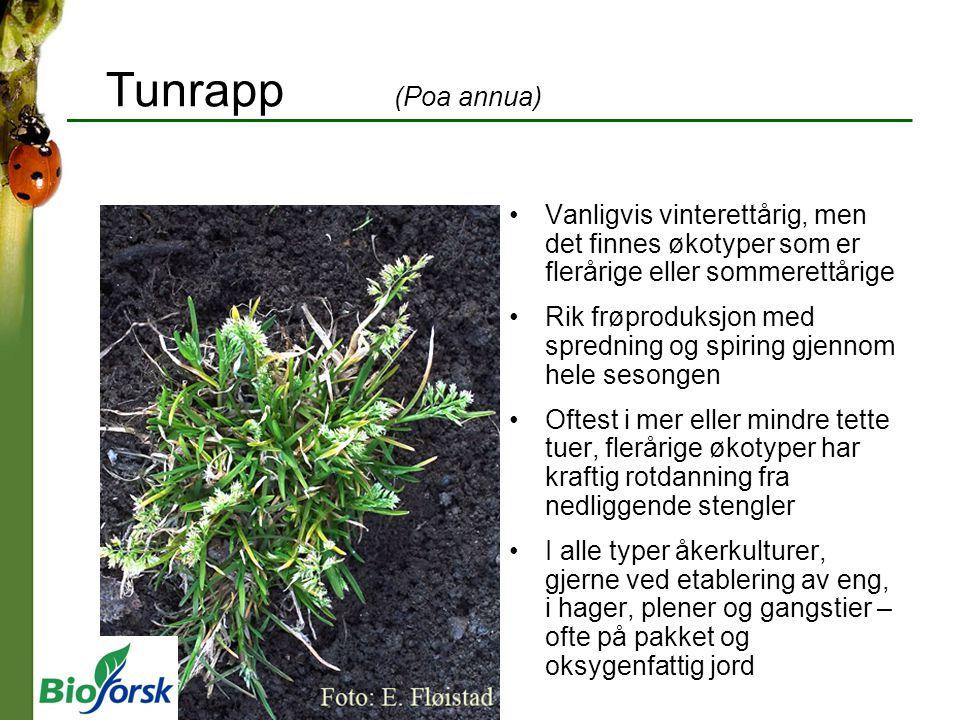 Tunrapp (Poa annua) Vanligvis vinterettårig, men det finnes økotyper som er flerårige eller sommerettårige Rik frøproduksjon med spredning og spiring