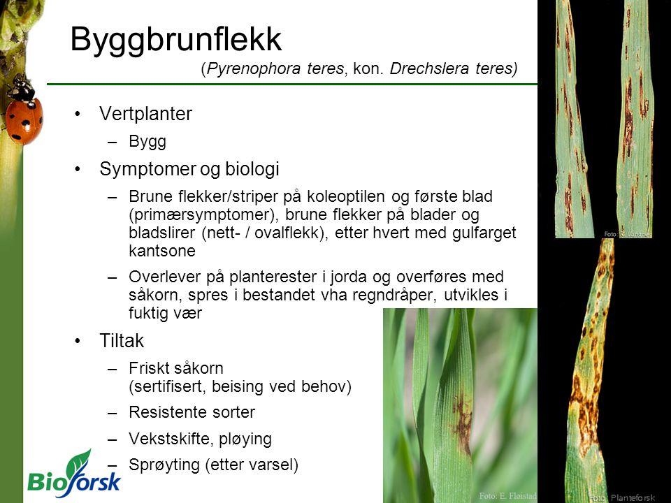Byggbrunflekk (Pyrenophora teres, kon. Drechslera teres) Vertplanter –Bygg Symptomer og biologi –Brune flekker/striper på koleoptilen og første blad (