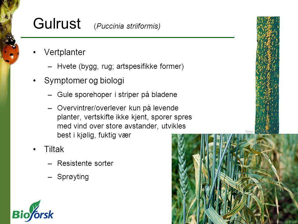 Gulrust (Puccinia striiformis) Vertplanter –Hvete (bygg, rug; artspesifikke former) Symptomer og biologi –Gule sporehoper i striper på bladene –Overvi