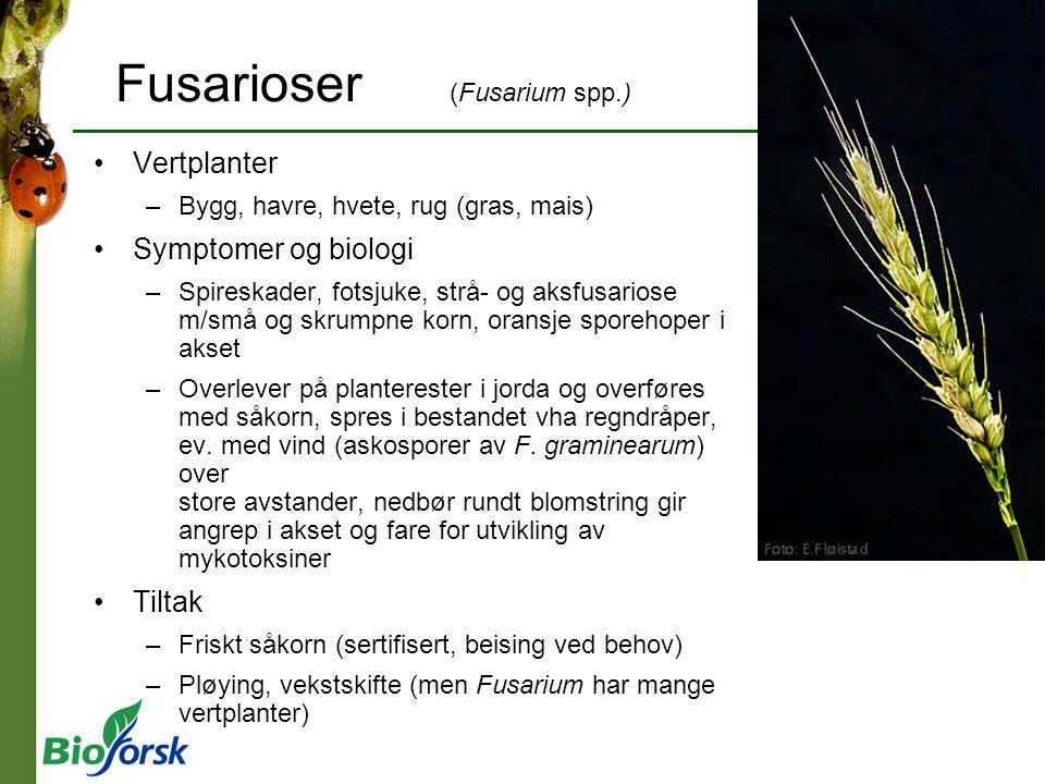 Fusarioser (Fusarium spp.) Vertplanter –Bygg, havre, hvete, rug (gras, mais) Symptomer og biologi –Spireskader, fotsjuke, strå- og aksfusariose m/små