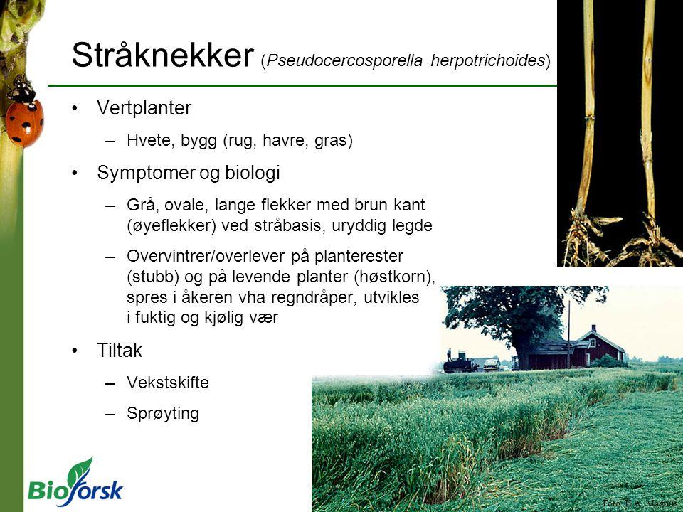 Foto: H.A. Magnus Stråknekker (Pseudocercosporella herpotrichoides) Vertplanter –Hvete, bygg (rug, havre, gras) Symptomer og biologi –Grå, ovale, lang