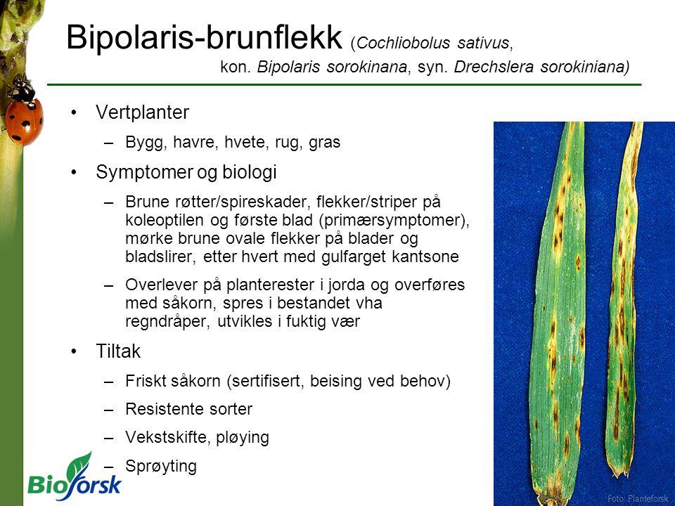 Bipolaris-brunflekk (Cochliobolus sativus, kon. Bipolaris sorokinana, syn. Drechslera sorokiniana) Vertplanter –Bygg, havre, hvete, rug, gras Symptome