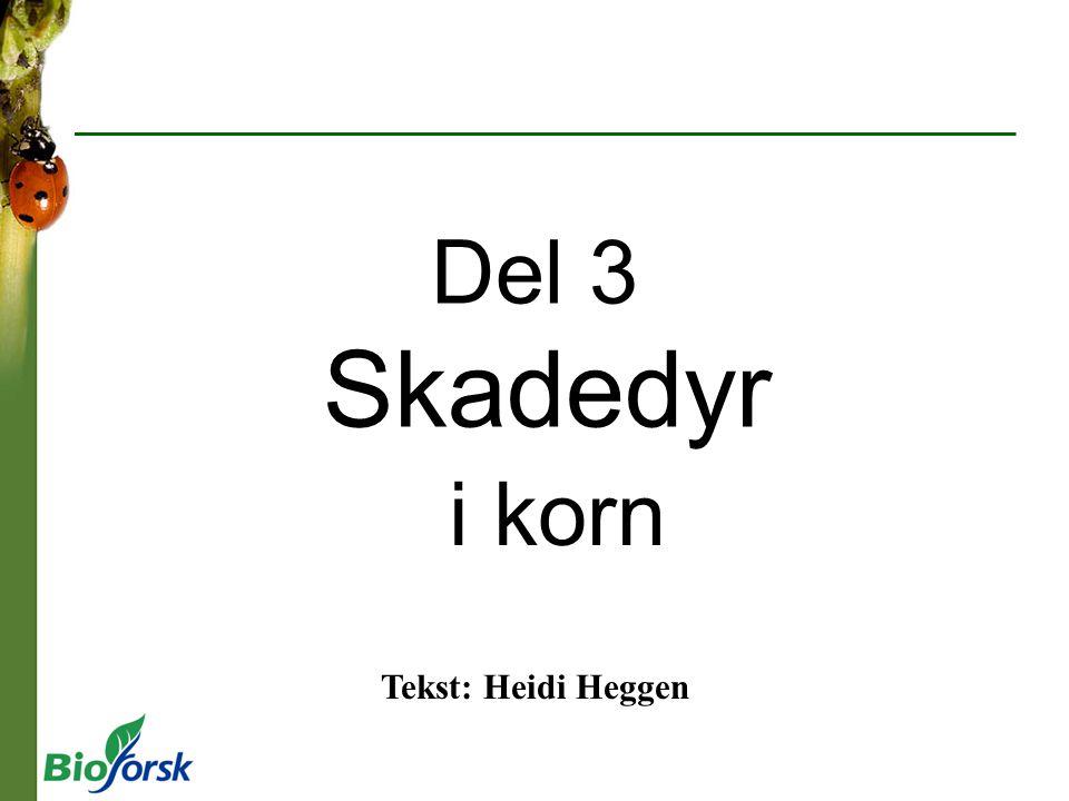 Del 3 Skadedyr i korn Tekst: Heidi Heggen