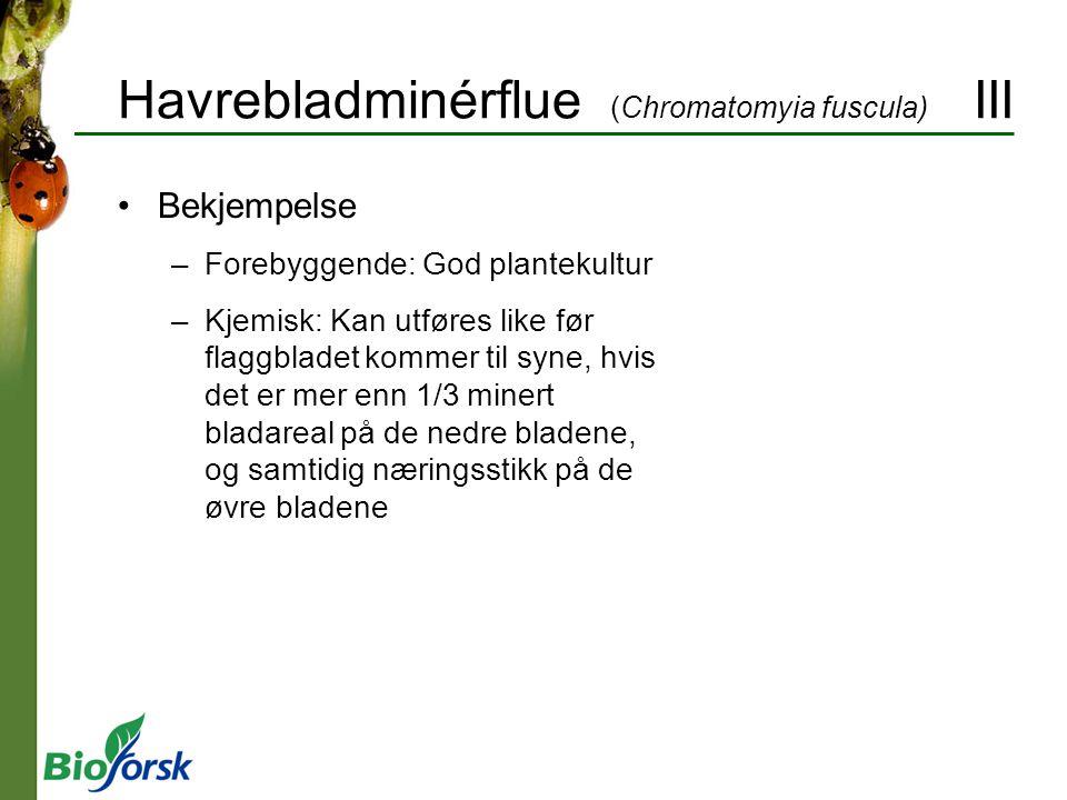 Havrebladminérflue (Chromatomyia fuscula) III Bekjempelse –Forebyggende: God plantekultur –Kjemisk: Kan utføres like før flaggbladet kommer til syne,