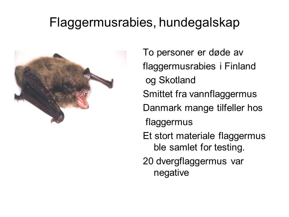 Flaggermusrabies, hundegalskap To personer er døde av flaggermusrabies i Finland og Skotland Smittet fra vannflaggermus Danmark mange tilfeller hos fl