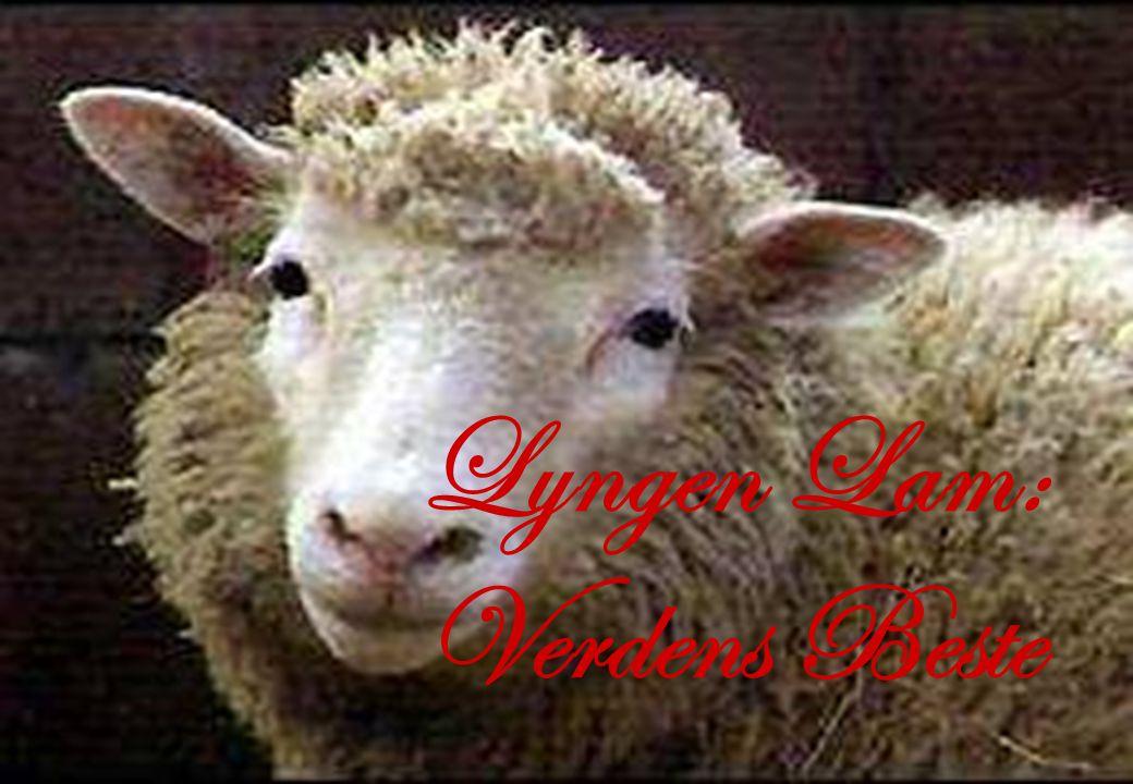 Lyngen Lam: Verdens Beste