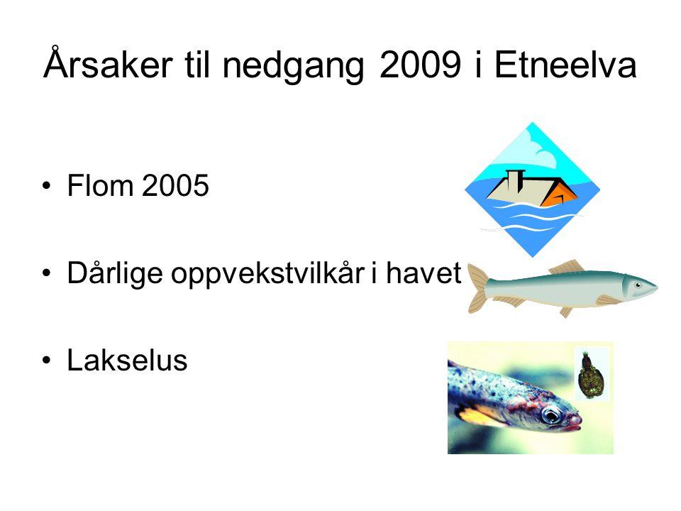 Årsaker til nedgang 2009 i Etneelva Flom 2005 Dårlige oppvekstvilkår i havet Lakselus