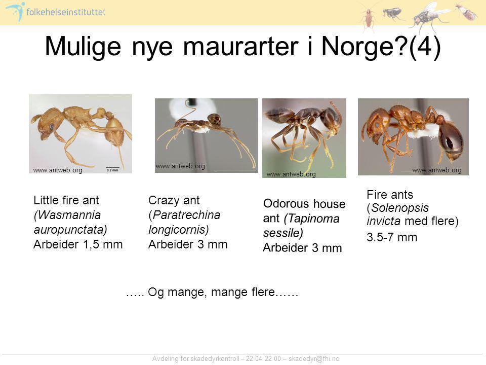Avdeling for skadedyrkontroll – 22 04 22 00 – skadedyr@fhi.no Mulige nye maurarter i Norge?(4) Little fire ant (Wasmannia auropunctata) Arbeider 1,5 m