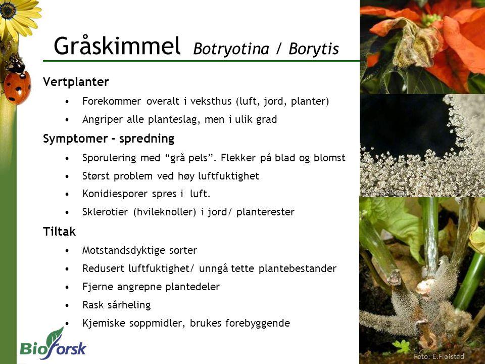 Gråskimmel Botryotina / Borytis Vertplanter Forekommer overalt i veksthus (luft, jord, planter) Angriper alle planteslag, men i ulik grad Symptomer -