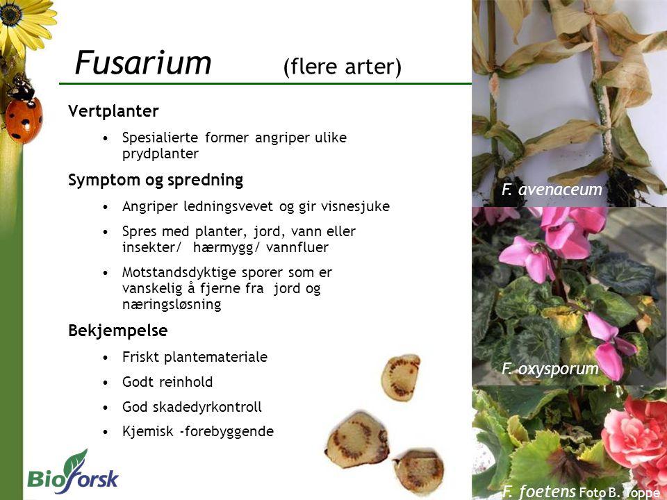 Fusarium (flere arter) Vertplanter Spesialierte former angriper ulike prydplanter Symptom og spredning Angriper ledningsvevet og gir visnesjuke Spres med planter, jord, vann eller insekter/ hærmygg/ vannfluer Motstandsdyktige sporer som er vanskelig å fjerne fra jord og næringsløsning Bekjempelse Friskt plantemateriale Godt reinhold God skadedyrkontroll Kjemisk -forebyggende F.