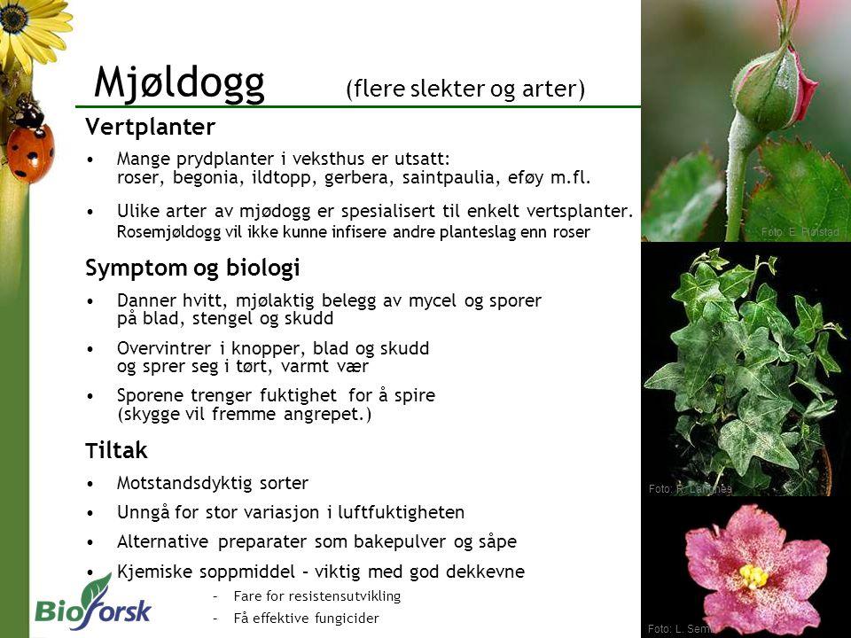 Mjøldogg (flere slekter og arter) Vertplanter Mange prydplanter i veksthus er utsatt: roser, begonia, ildtopp, gerbera, saintpaulia, eføy m.fl. Ulike