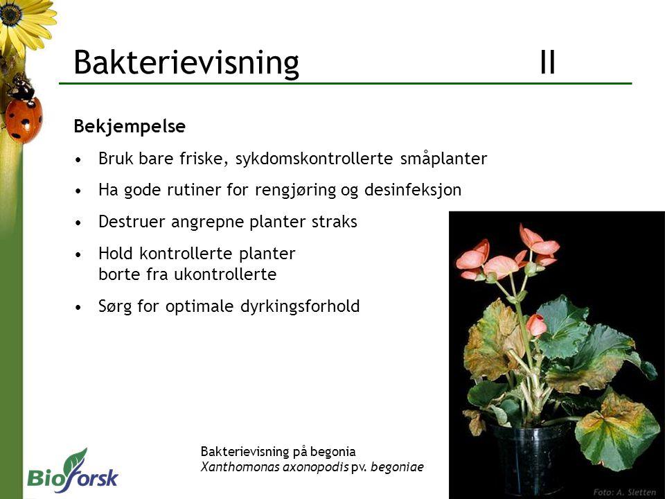 Bakterievisning II Bekjempelse Bruk bare friske, sykdomskontrollerte småplanter Ha gode rutiner for rengjøring og desinfeksjon Destruer angrepne plant