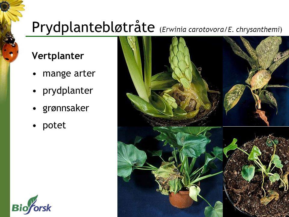 Prydplantebløtråte (Erwinia carotovora/E. chrysanthemi) Vertplanter mange arter prydplanter grønnsaker potet
