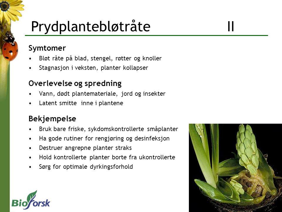 Prydplantebløtråte II Symtomer Bløt råte på blad, stengel, røtter og knoller Stagnasjon i veksten, planter kollapser Overlevelse og spredning Vann, dø
