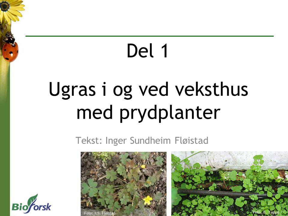 Tekst: Inger Sundheim Fløistad Del 1 Ugras i og ved veksthus med prydplanter Foto: I.S. Fløistad Foto: B. Toppe