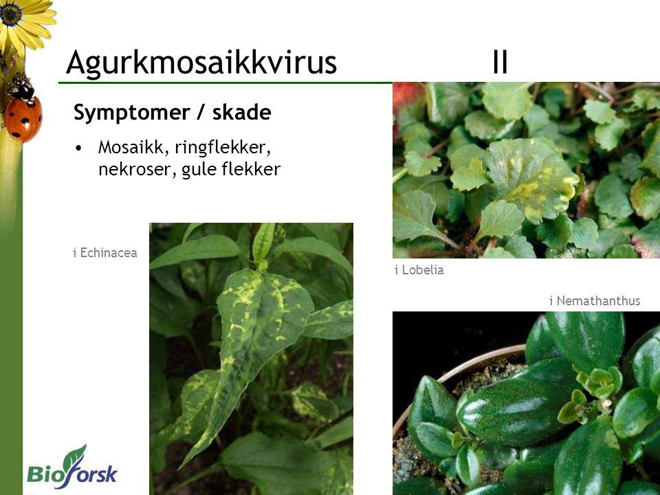 Symptomer / skade Mosaikk, ringflekker, nekroser, gule flekker i Nemathanthus i Lobelia i Echinacea Agurkmosaikkvirus II